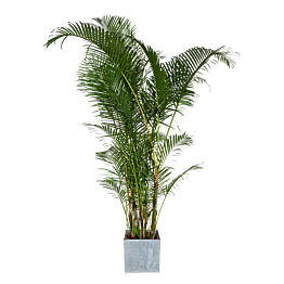 Palmier H1,9m avec cache-pot
